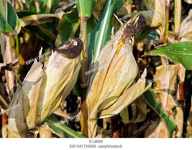 corn plants with ripe cobs at autumn, Austria