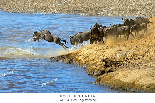 Eastern White-bearded Wildebeest (Connochaetes taurinus albojubatus), wildebeest migration over the Mara River, Kenya, Masai Mara National Park