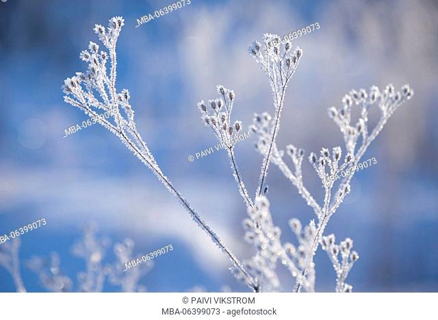 4 Season winter,artistic,beautiful,cold,cold temperature,covered,crystal,Finland,forest,frost,frosty,frozen,grey,ice,macro,nature,outdoor,pastel blue,plant