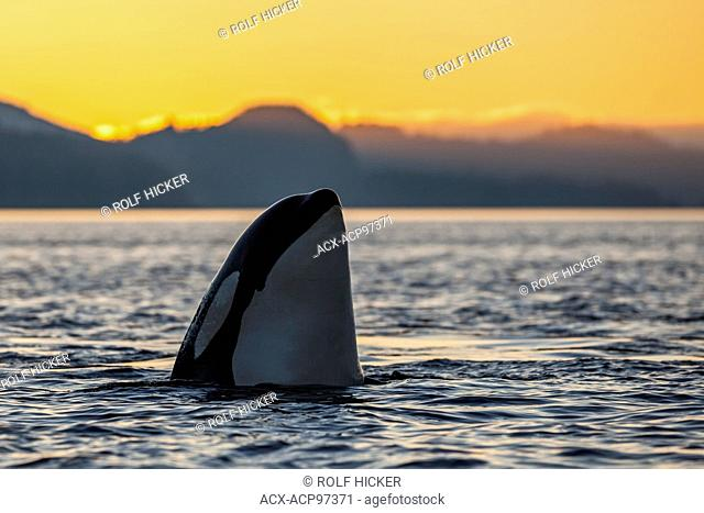 Resident Killer whale (Orcinus orca) spyhopping during sunset in Johnstone Strait, British Columbia, Canada