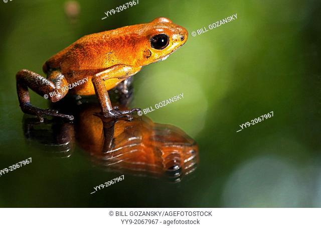 Close-up of Strawberry Poison-Dart Frog - La Laguna del Lagarto Lodge - Boca Tapada, San Carlos, Costa Rica