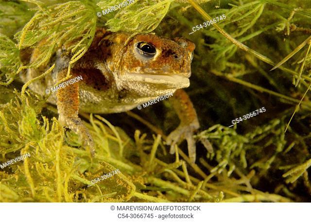 Common Toad (Bufo bufo). youth. Lago de la Cueva. Lagos de Somiedo. Asturias. Spain. Europe