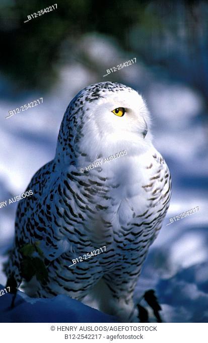 Snowy owl in winter - Canada - Nyctea scandiaca