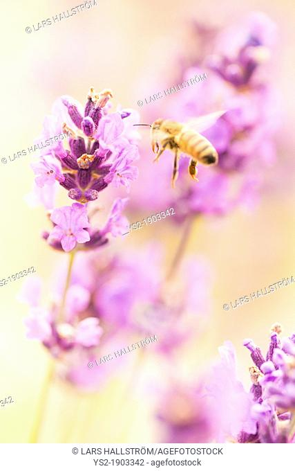 Summer scene with busy bee pollinating lavender flowers in green field