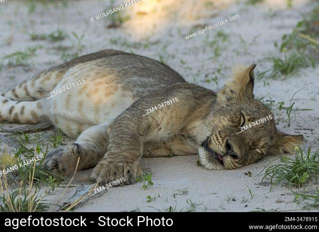 After feeding on a warthog a about 6 months old lion cub (Panthera leo) is laying on the ground with a full belly resting in the Gomoti Plains area