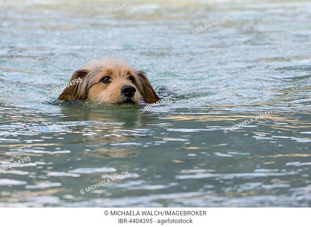 Bosnian Coarse-haired Hound or Barak dog (canis lupus familiaris) is swimming in a river, mixed-breed, Tyrol, Austria