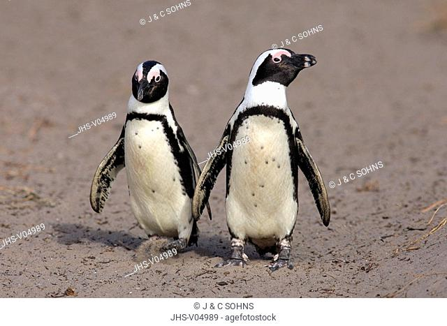 Jackass Penguin, Spheniscus demersus, Betty's Bay, South Africa, Africa, adult couple walking on beach