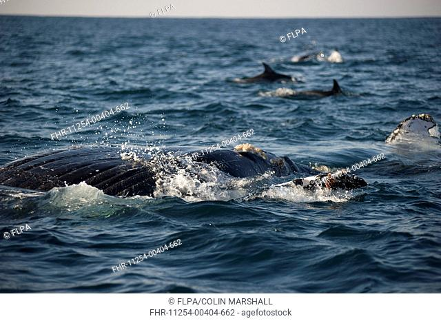 Humpback Whale Megaptera novaeangliae adult, swimming at surface of sea, with Long-beaked Common Dolphins Delphinus capensis in distance, offshore Port St Johns