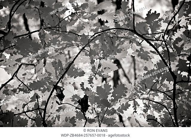 Black and white infrared image of foliage in Ancient oak woodland a former medieval royal hunting forest with living and remnants of sessile oak at Brocton...