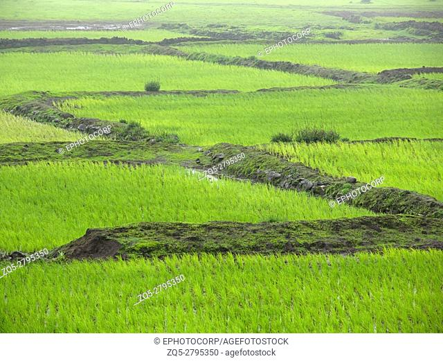 Paddy fields soon after cultivation Maharashtra, India