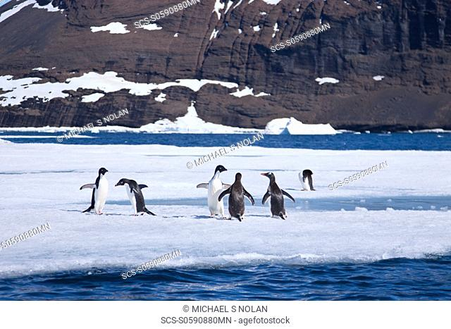 AdÇlie penguin Pygoscelis adeliae near the Antarctic Peninsula, Antarctica MORE INFO The AdÇlie Penguin is a type of penguin common along the entire Antarctic...
