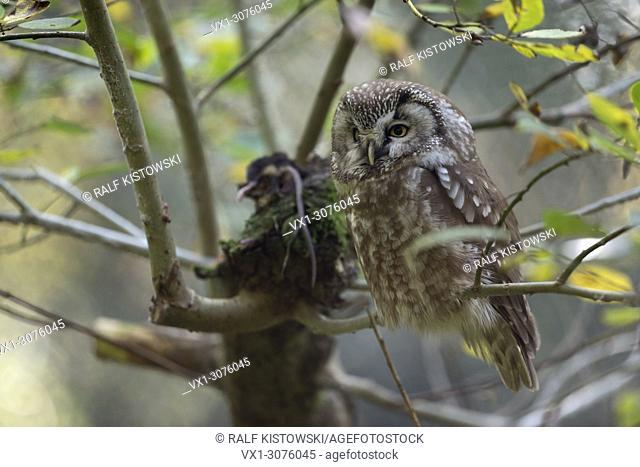 Boreal Owl ( Aegolius funereus ) perched in a tree, with prey lying next to him, Europe