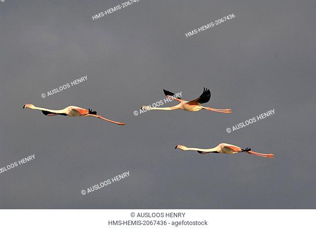 France, Camargue, Great Flamingo (Phoenicopterus roseus), in flight