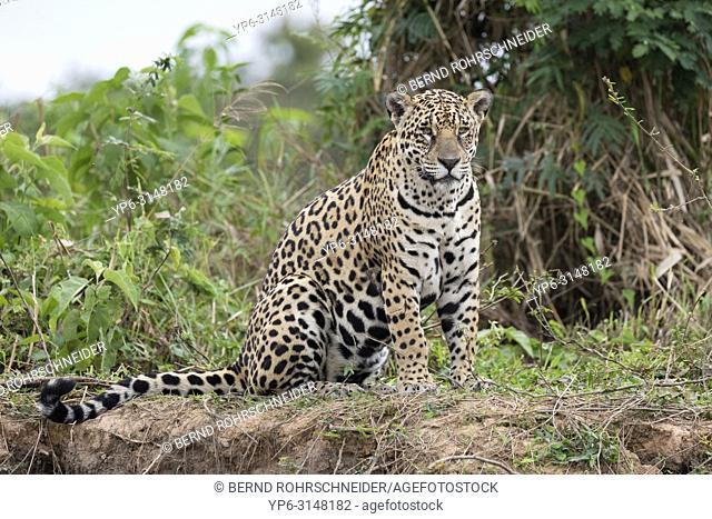Jaguar (Panthera onca), adult sitting on riverbank, Pantanal, Mato Grosso, Brazil