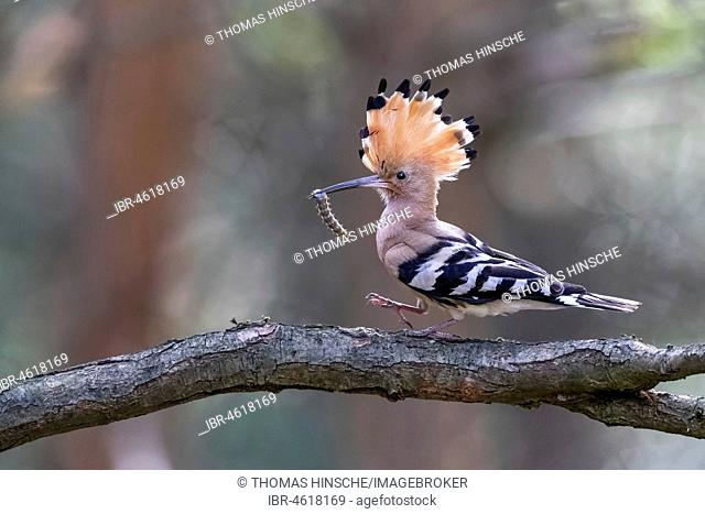 Hoopoe (Upupa epops) with caterpillar as food on branch, Central Elbe Biosphere Reserve, Saxony-Anhalt, Germany
