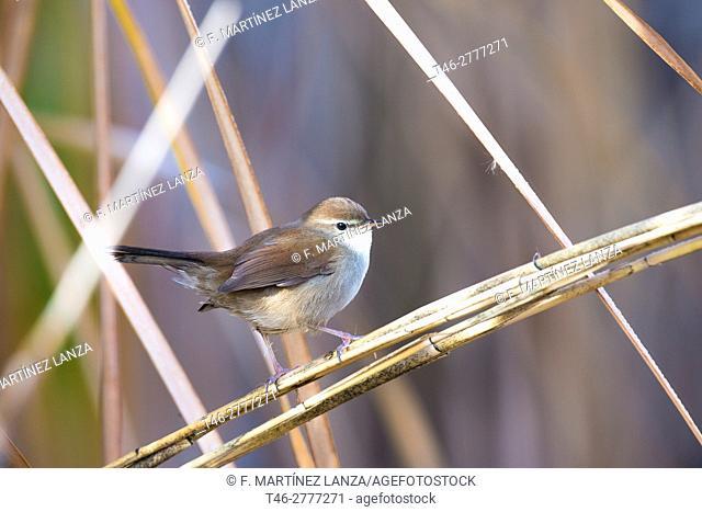 CETIA nightingale or Cetti (Cetti&39, s Warbler). Photographed in Toledo