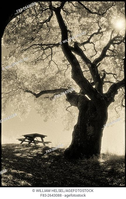 Coast Live Oak (Quercus agrifolia), picnic table, and sun, Sobrante Ridge Regional Preserve, Contra Costa County, CA, USA, shot on Kodak infrared film
