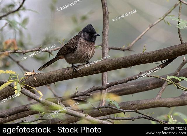 red-vented bulbul that sits on a dry branch of a tree on a cloudy winter day