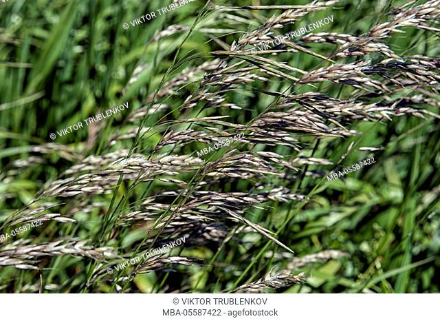 Natural Science, Summer, Grass in the field, Small depth of sharpness