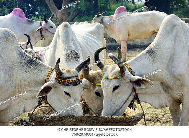 India, Bihar, Patna region, Sonepur livestock fair, Cattle market