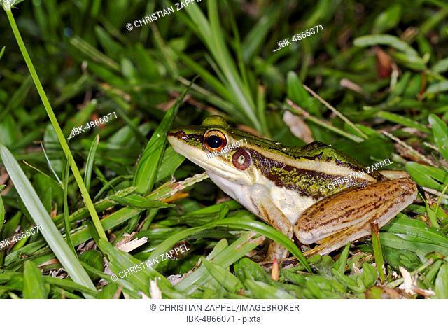 Common green frog (Hylarana erythraea), Sepilok Nature Reserve, Sabah, Borneo, Malaysia