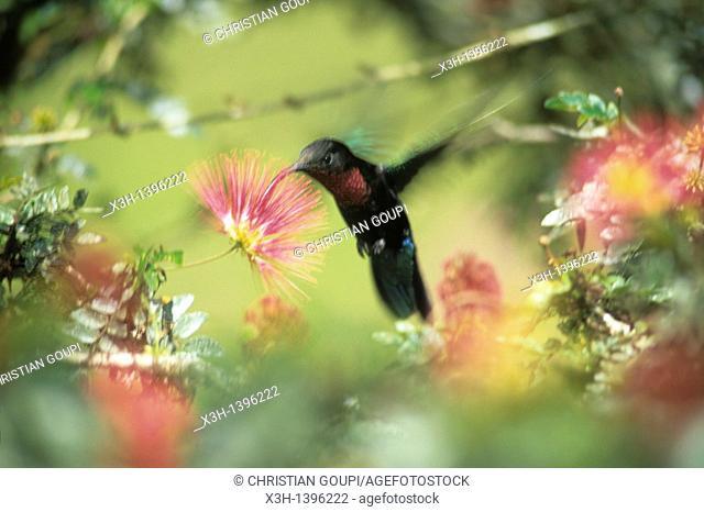 colibri,Jardin de Balata Ile de la Martinique Departement et Region d'Outremer francais Archipel des Antilles Caraibes//violetear
