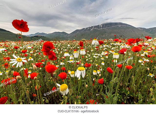 Blooming of red poppies and daisies Castelluccio di Norcia Province of Perugia Umbria Italy Europe
