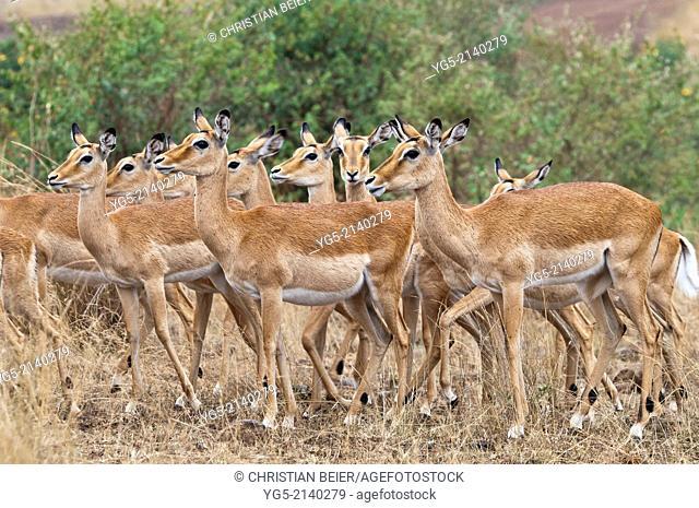 Group of Impala antelopes (Aepyceros melampus), Maasai Mara National Reserve, Rift Valley, Kenya, Africa
