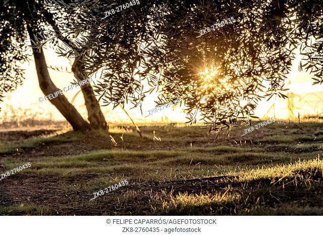Picture of beautiful orange sunset in olive trees garden near Jaen, Spain