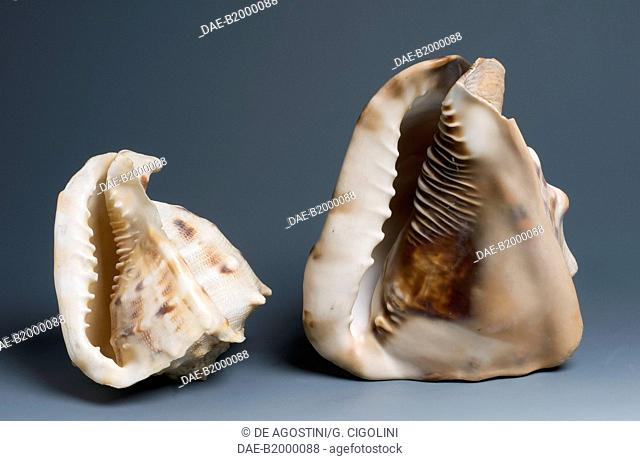 Flame Helmet shells (Cassis flammea), Littorinimorpha.  Private Collection