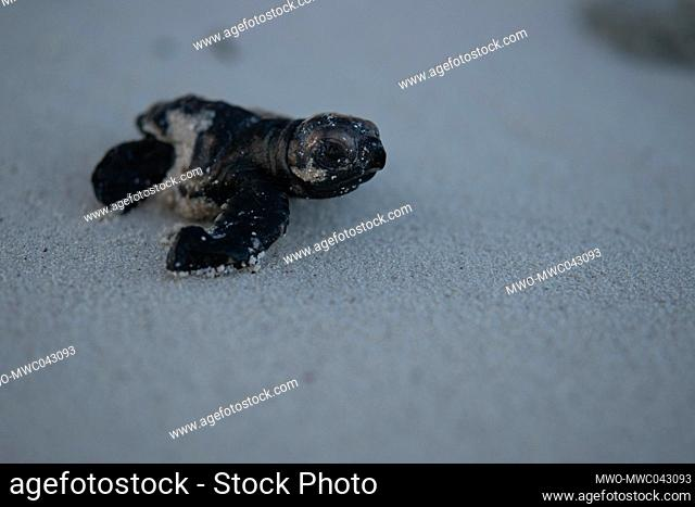 Deformed juvenile hawksbill turtle making its way into the water. A Hawksbill turtle's nesting season mostly occurs between April and November each year with...