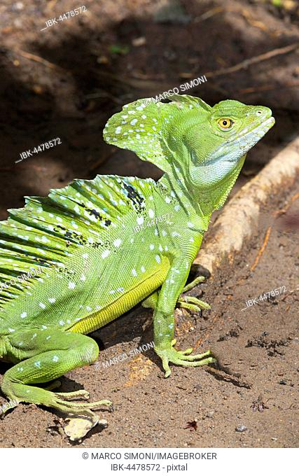 Green basilisk (Basiliscus plumifrons), Costa Rica