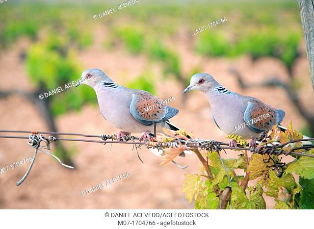 European Turtle Dove Streptopelia turtur, La Rioja vineyard, Spain