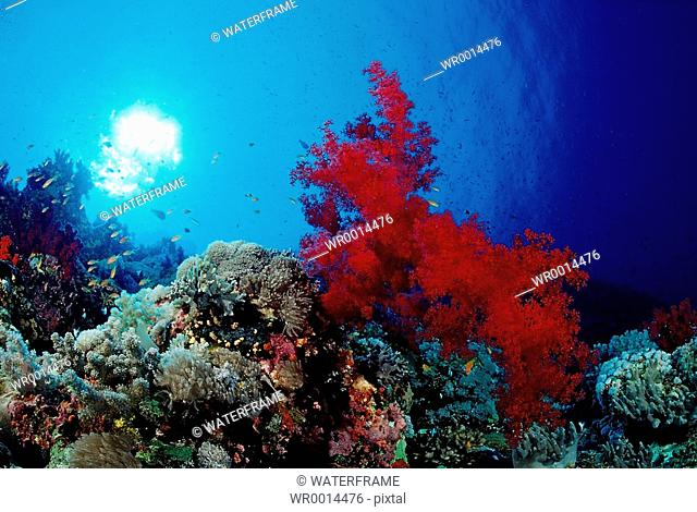 Colorful Coral Reef, Alcyonaria sp., Taba, Sinai, Red Sea, Egypt