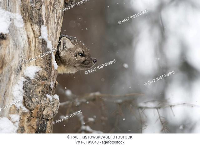 American Pine Marten (Martes americana) in winter, light snowfall, watching out of its dens in a rotten hollow tree, Yellowstone NP, USA.