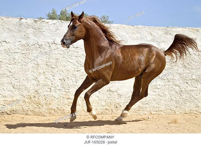 Arabian horse - galloping