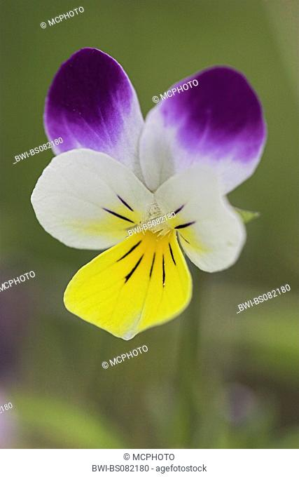 heart's ease, heartsease, wild pansy, three colored violet (Viola tricolor), flower, Netherlands, Texel