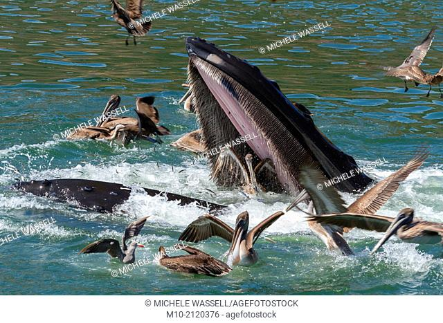 A lunge feeding Humpback Whale, almost taking in a California Brown Pelican in the San Luis Obispo harbor in Avila Beach, California, USA