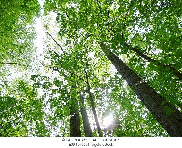 looking upward into tall trees in spring leaf, sun showing through near bottom, Monroe County, Indiana