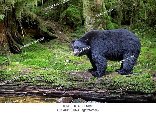 Black spirit bear (Ursus americanus kermodei), on a salmon spawning creek, Great Bear Rainforest, British Columbia, Canada