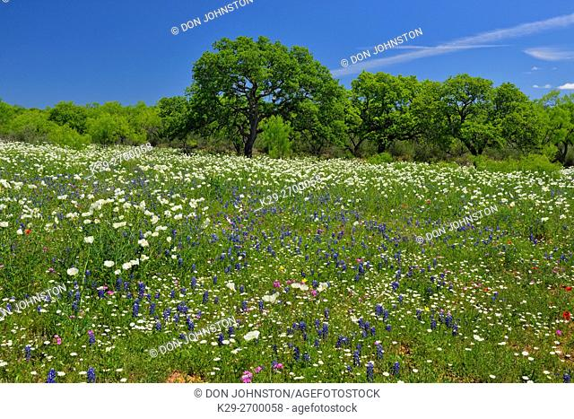 Wildflowers and oak tree along the Art Hedwigs Hill Road, Mason County, Texas, USA