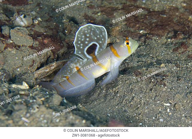 Randall's Shrimpgoby (Amblyeleotris randalli, Gobioidei family) with extended fin, USAT (US Army Transport) Liberty wreck dive site, Tulamben, east Bali