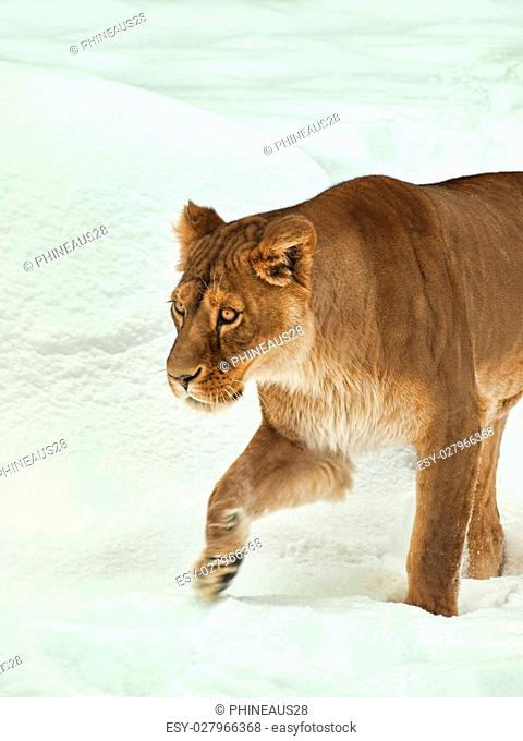 female African lion in the snow