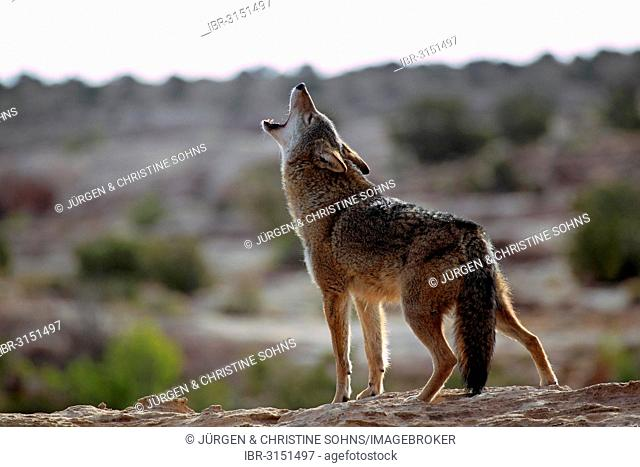 Howling Coyote (Canis latrans), Utah, United States