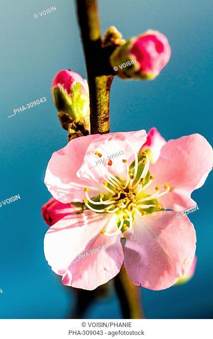 Cherry orchard (Prunus sp.)