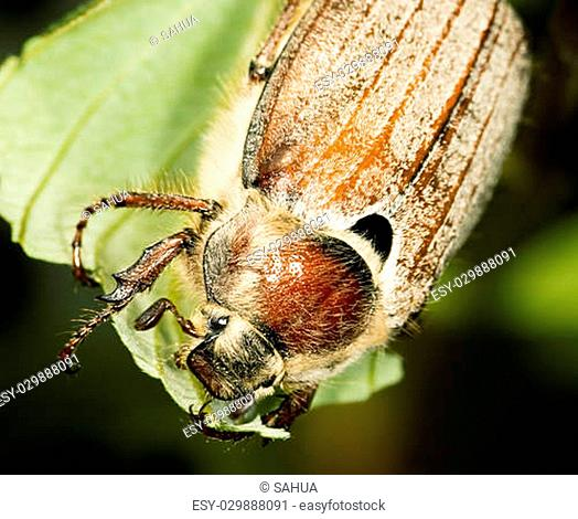 may bug (cockchafer, melolontha) in detail