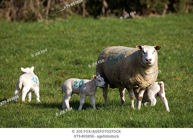 spring lambs with mother ewe feeding in a field county armagh northern ireland uk