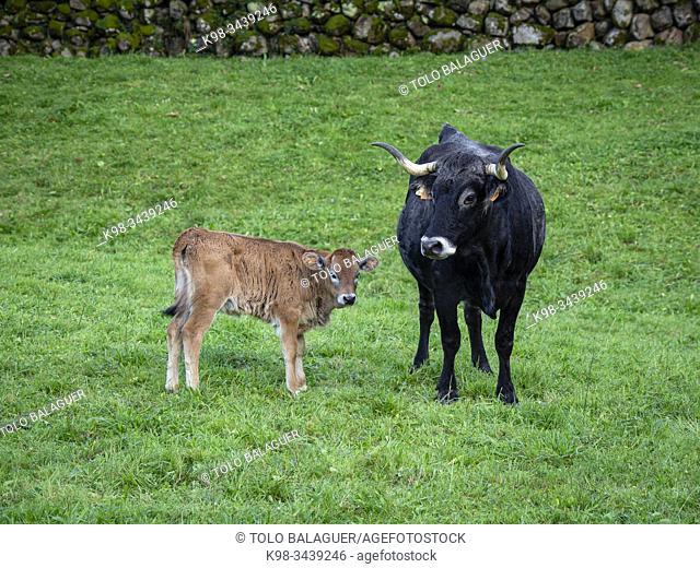 Tudanca , raza bovina autóctona de la zona occidental de Cantabria, Valle de Cabuérniga, parque natural del Saja-Besaya, Cantabria, Spain
