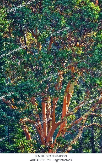 Arbutus (Pacific Madrone) (Arbutus menzeisii) tree. Canada's only native broad-leafed evergreen tree., Saltspring Island (Gulf Islands), British Columbia