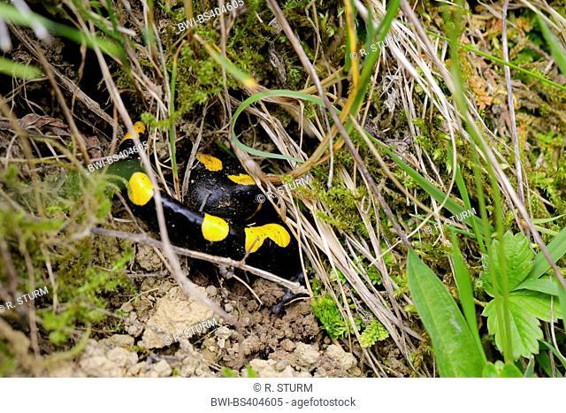 European fire salamander (Salamandra salamandra), hiding in a burrow, Austria, Tyrol, Ebbs